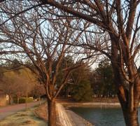 観桜苑の桜