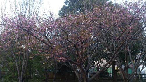 観桜苑のカワズザクラ
