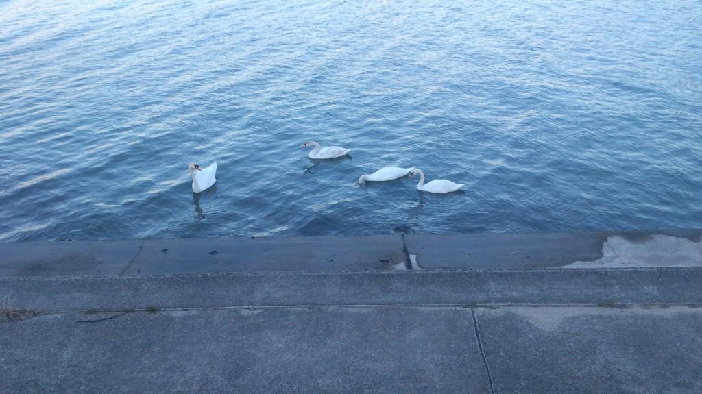砂沼の白鳥