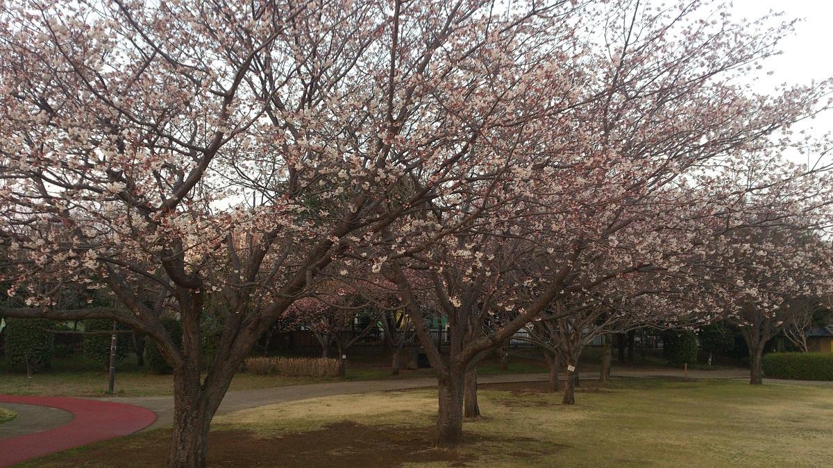 観桜苑のハクランマン