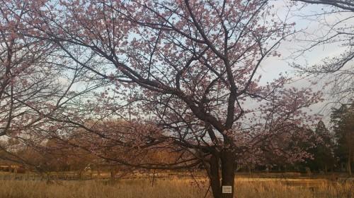 観桜苑のカンザクラ