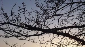 【3/24】砂沼の桜