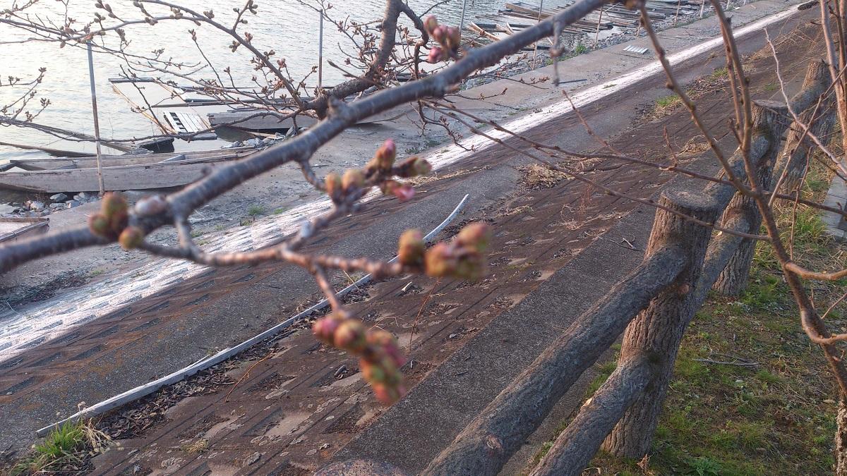 砂沼の桜の開花状況【3/25】