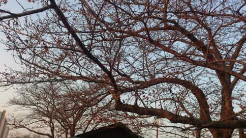 砂沼の桜【3/27】