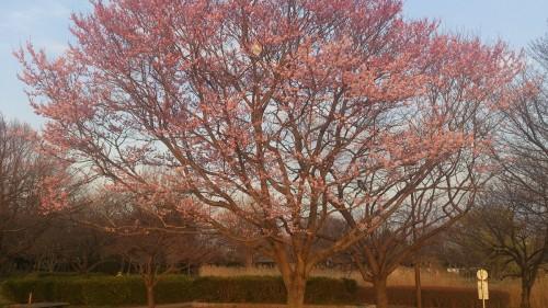 観桜苑のタチヒガン