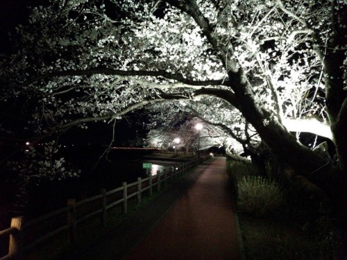 砂沼の夜桜