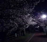 外灯と砂沼の桜