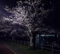 夜桜と砂沼