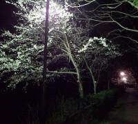 砂沼の夜桜が見ごろ