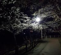砂沼の夜桜は今だけ