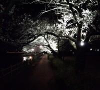 砂沼の夜桜がライトアップ