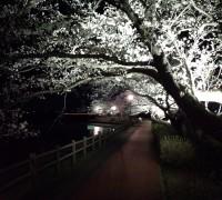 夜桜がきれい