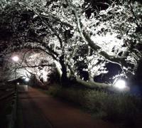 観光名所「砂沼」の桜