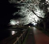 砂沼の夜桜はもう見ましたか?