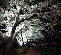 夜桜のライトアップ!