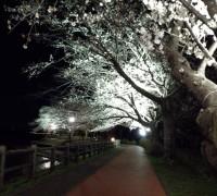 大粒の桜がきれい