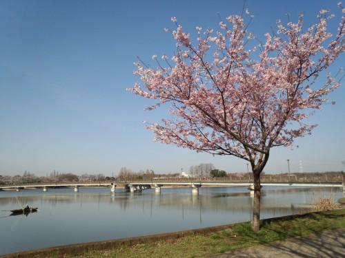 桜と砂沼大橋とボート