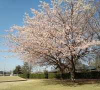 朝日を浴びる桜