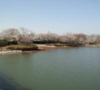 砂沼大橋からの桜
