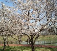 満開の桜と満開のグラウンド