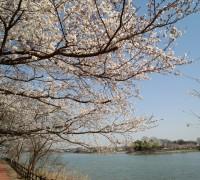 砂沼大橋のそばの桜