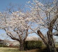 下妻中学校近くの桜