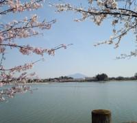 桜の木に囲まれて筑波山を眺める