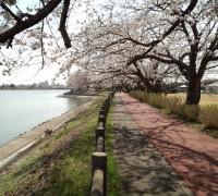 夜桜ポイント