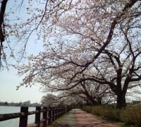 トンネル桜