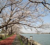 長年にわたり咲き続ける桜たち