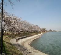 砂沼大橋を眺めながらの桜
