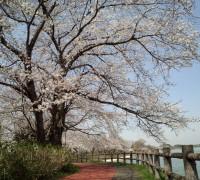 夜桜の写真の桜たち