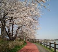 桜とランニングコース