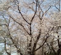 立派な桜の木