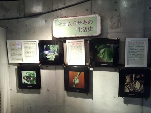 オオムラサキの生活史