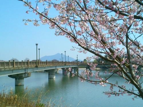 砂沼大橋と桜と筑波山と