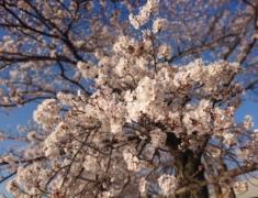 砂沼の桜が満開です