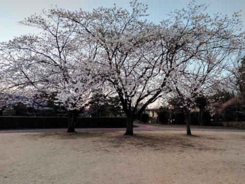 ソメイヨシノよりも開花が早いハクランマンの写真